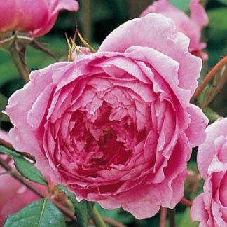 Anglická růže - Alan Titchmarsh