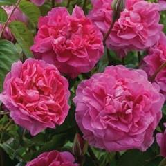 Anglická růže - England's Rose
