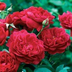 Anglická růže - Darcey Russell