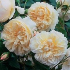 Anglická růže - Lichfield Angel