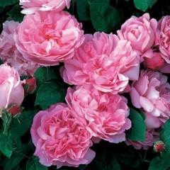 Anglická růže - Mary Rose
