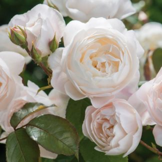 Anglická růže - Desdemona