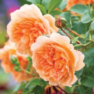 Anglická růže-Dame Judi Dench