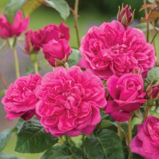 Anglická růže-James L. Austin