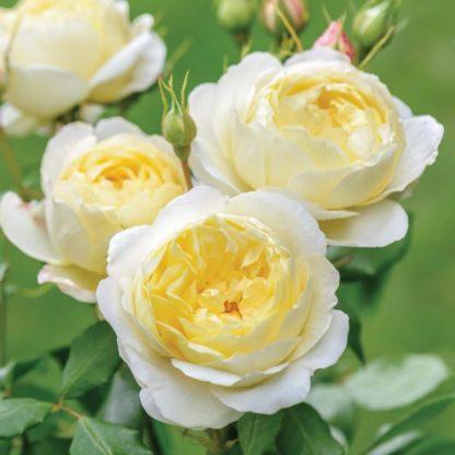 Anglická růže-Vanessa Bell